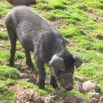 Cochon negro