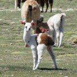 Pipi de petit lama